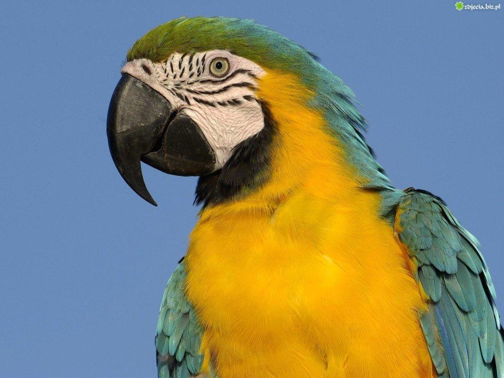 ara-papuga-niebieska